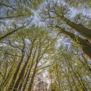 FOTOTAPET ARBORI INALTI 4-522 Natura Verde Padure