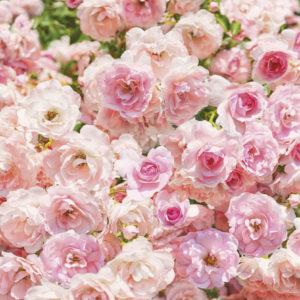 Fototapet Trandafiri Roz 8-937