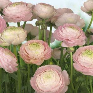 trandafiri_mari_8-894