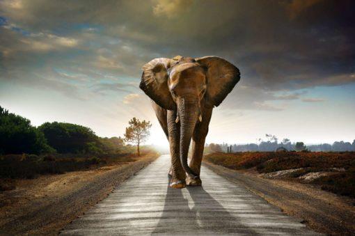Fototapet Elefant 01