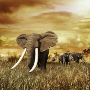 Elefant 05 - Tapet Foto 3D
