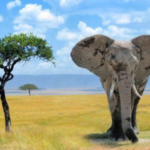 Elefant 07 - Tapet 3D