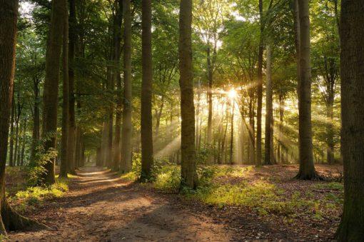 Fototapet Fox-01-0259 Padure, Raze de soare printre copaci