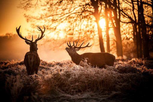 Fototapet Cerbi 02 Apus de soare Natura Animale
