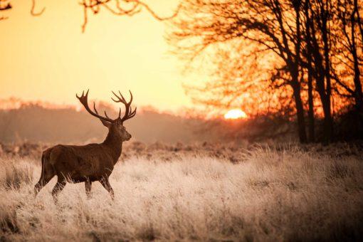 Tapet 3D Cerb Apus de soare Animale Natura