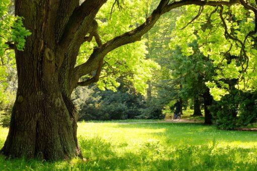 Fototapet Padure Copaci Luminis