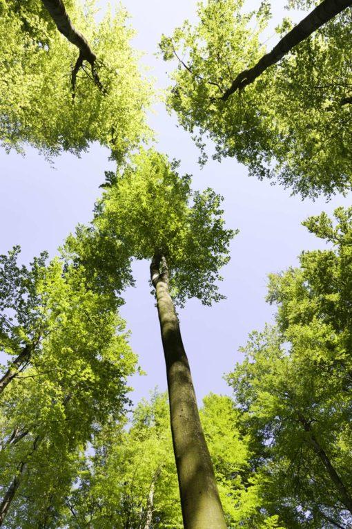 Fototapet 3D pentru Tavan Copaci 12
