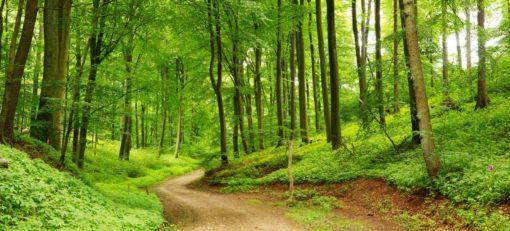 Tapet Foto 3D Padure Copaci Carare