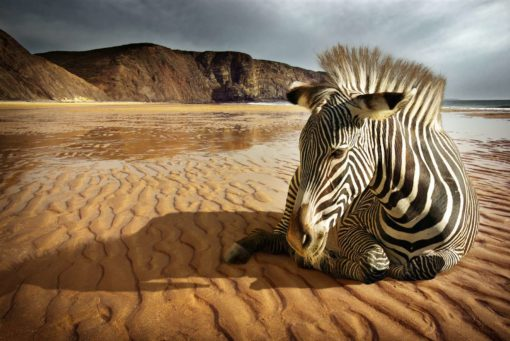 Tapet Foto Zebra - Animale, Natura