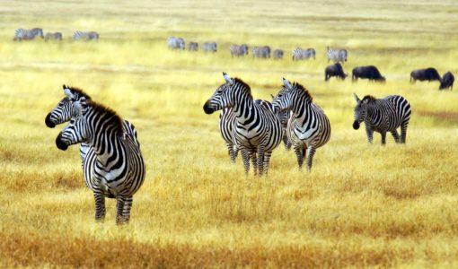 Fototapet Zebre Campie - Animale, Natura