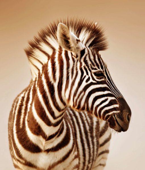 Tapet Foto Sepia Zebra 04 - Animale, Natura