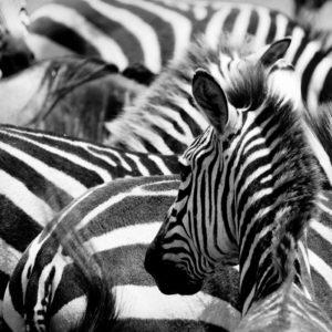 Fototapet Zebra 05 - Animale, Natura