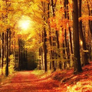 Tapet Foto Fox-01-0216 Toamna Peisaj Carare Copaci Padure
