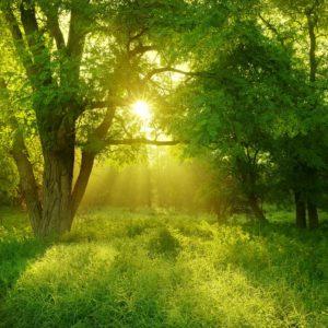 Fototapet Soare printre copaci Padure Fox-01-0227