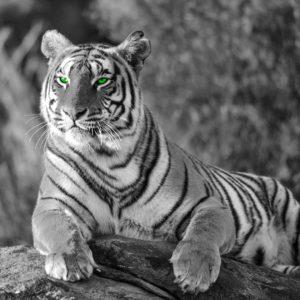 Fototapet Fox-17-0222 Tigru Alb-Negru