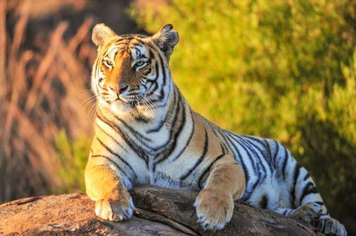 Tapet 3D Fox-17-0224 Tigru