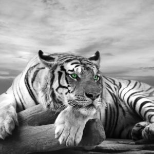 Fototapet Fox-17-0225 Tigru Alb-Negru