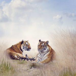 Fototapet Fox-17-0226 Tigru