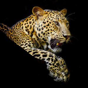 Fototapet Leopard 17-0525