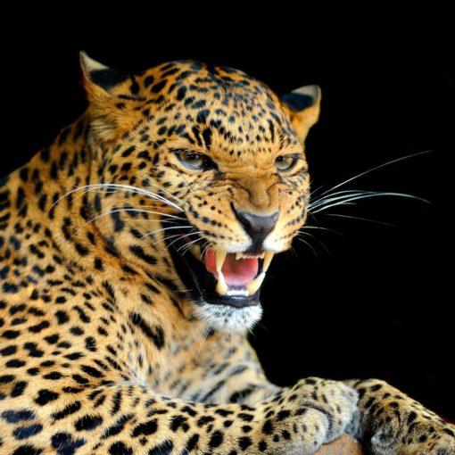 Fototapet Leopard 17-0526