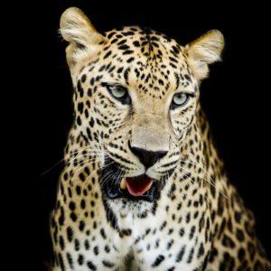 Fototapet Leopard 17-0527