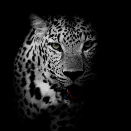 Fototapet Leopard 17-0528 Alb-Negru