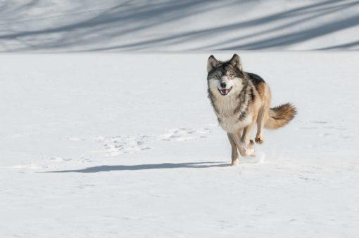 Tapet Foto Lupi Fox-17-0809 Animale, Natura, Iarna, Zapada