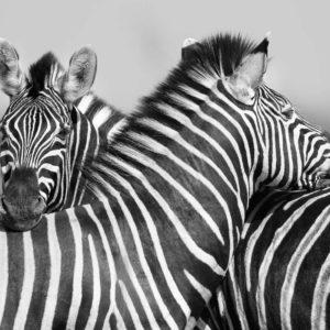 Fototapet Alb-Negru Zebre - Animale, Natura