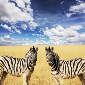 Tapet Foto Zebre, Animale, Natura, Campie