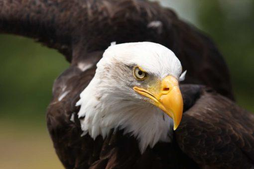 Fototapet Vultur - Fox-17-1101 - Pasari, Animale, Natura
