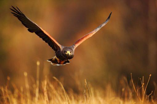 Fototapet Vultur Fox-17-1102 - Pasari, Animale, Natura