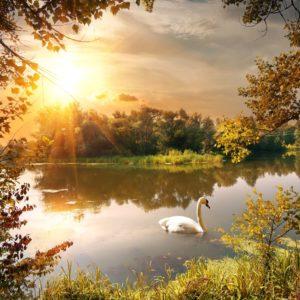 Lac 25 - Soare, Copaci, Natură, Lebădă