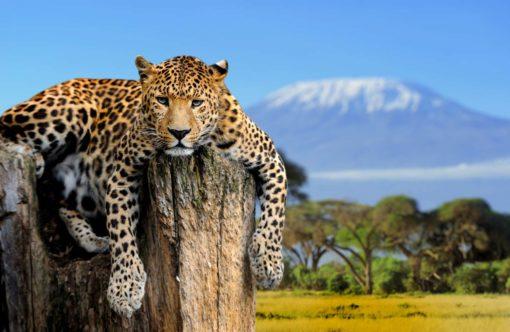Tapet Foto Leopard 04