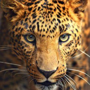 Tapet 3D Leopard 06
