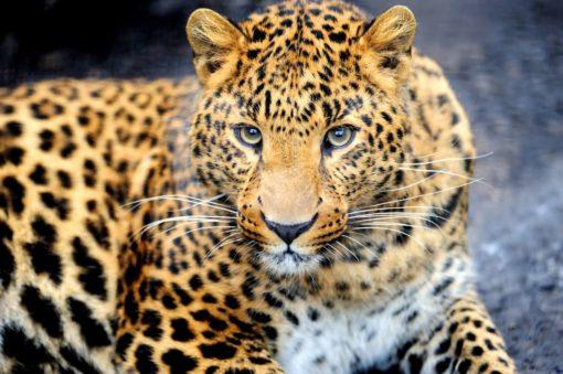 Tapet 3D Leopard 07