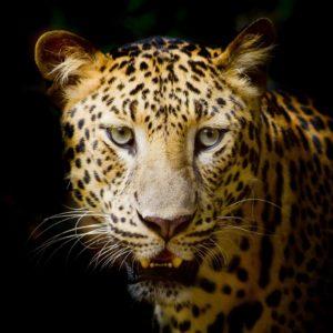 Fototapet Leopard 08