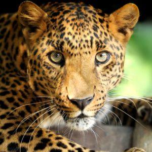 Fototapet 3D Leopard 09
