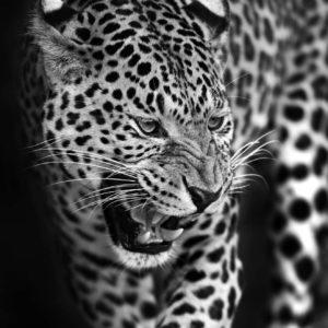 Fototapet 3D Leopard 10