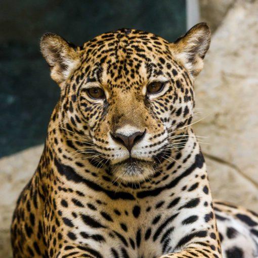 Fototapet 3D Leopard 11