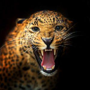 Tapet 3D Leopard 12