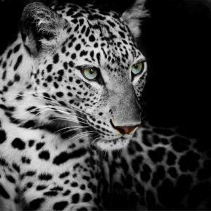 Tapet Foto Leopard 13 Alb-Negru