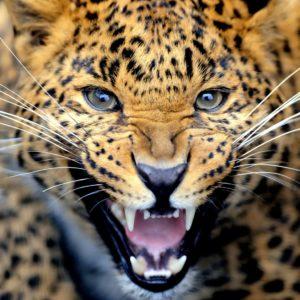 Fototapet Leopard 14