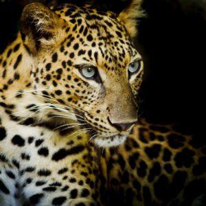 Tapet Foto Leopard 15