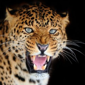 Tapet Foto Leopard 16