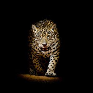 Fototapet Leopard 18