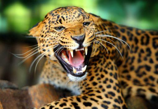 Tapet Foto Leopard 19