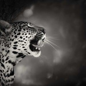 Fototapet Alb-Negru Leopard 20