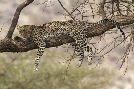 Tapet Foto 3D Leopard 21