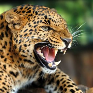 Tapet Foto 3D Leopard 22