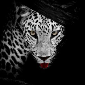 Leopard 23 - Tapet Foto Alb-Negru